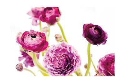 Spring Ranunculus IV-Laura Marshall-Art Print