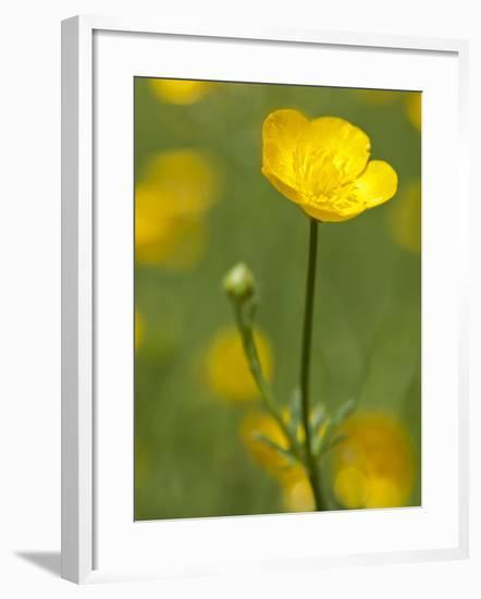 Spring Time Buttercup Flowers-Richard Nowitz-Framed Photographic Print
