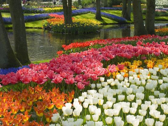 Spring Tulips by Stream-Mark Bolton-Premium Photographic Print