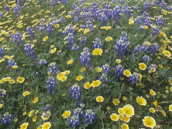 Spring Wildflowers, Layia and Lupine, on the Carrizo Plains, California, USA-Gerald & Buff Corsi-Photographic Print