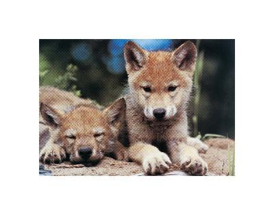 Spring Wolf Pups-Art Wolfe-Giclee Print