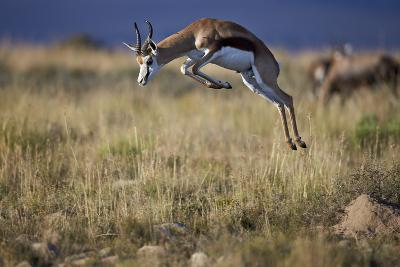 Springbok (Antidorcas Marsupialis) Buck Springing or Jumping-James Hager-Photographic Print