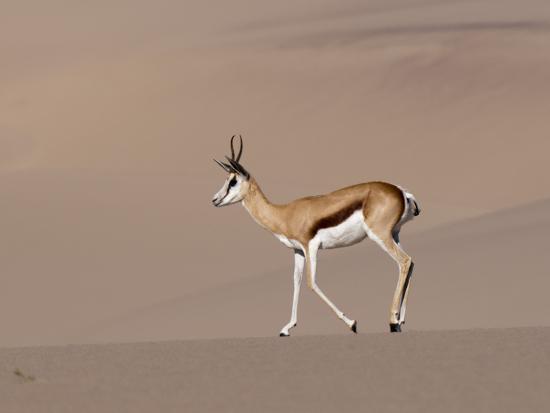 Springbok (Antidorcas Marsupialis) on Sand Dune, Skeleton Coast National Park, Namibia, Africa-Sergio Pitamitz-Photographic Print