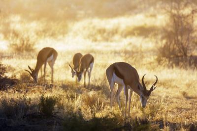 https://imgc.artprintimages.com/img/print/springbok-kgalagadi-transfrontier-park-kalahari-northern-cape-south-africa-africa_u-l-q1boewc0.jpg?p=0