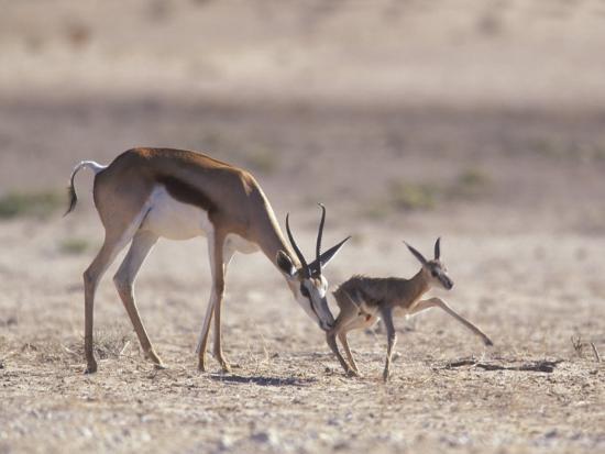 Springbok Mother Helps Newborn, Kalahari Gemsbok National Park, South Africa-Paul Souders-Photographic Print