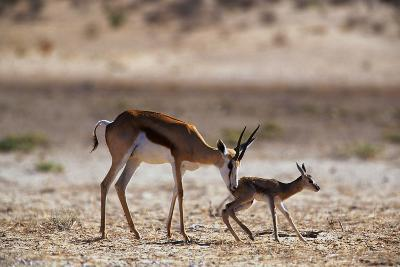 Springbok Mother with Newborn Calf-Paul Souders-Photographic Print