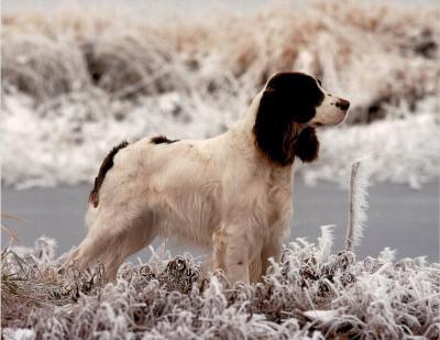 Springer (In Snow)--Mini Poster