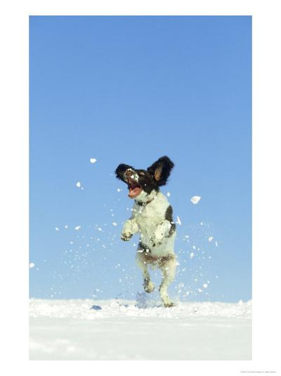 Springer Spaniel (4 Months Old) Jumping in Air to Catch Snow, February, Scotland-Mark Hamblin-Photographic Print