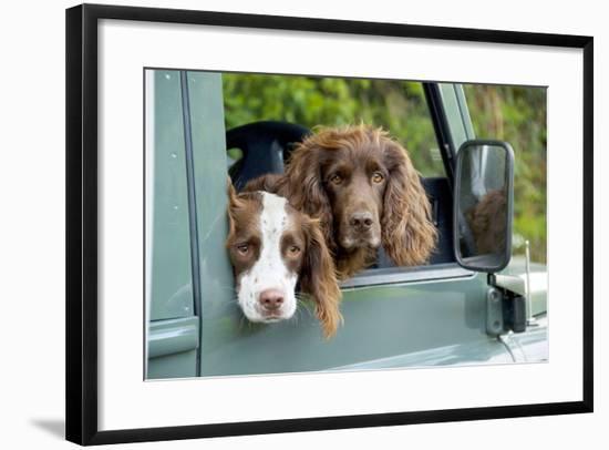 Springer Spaniel Dog and Field Spaniel--Framed Photographic Print