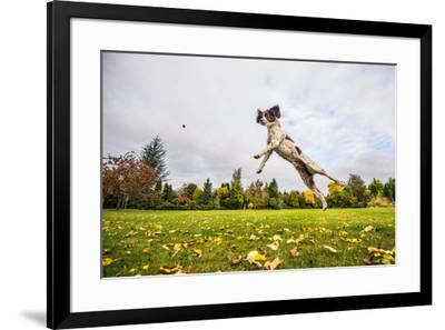 Springer Spaniel jumping to catch treat, United Kingdom, Europe-John Alexander-Framed Photographic Print