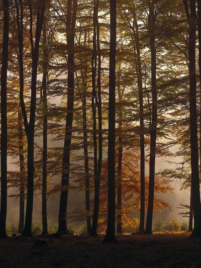 Spruce Forest, Way, Morning Fog-Thonig-Photographic Print