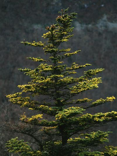 Spruce Tree Along Skyline Drive-Raymond Gehman-Photographic Print