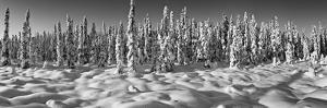 Spruce trees on a snow covered landscape, Chugiak, Anchorage, Alaska, USA