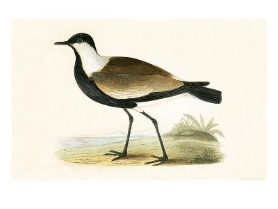 Spur Winged Plover,  from 'A History of the Birds of Europe Not Observed in the British Isles'-English-Giclee Print