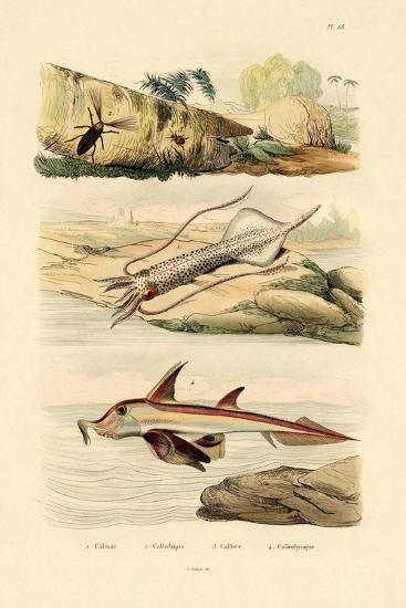Squid, 1833-39--Giclee Print