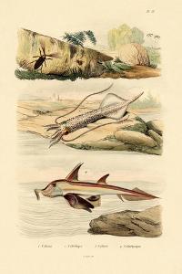 Squid, 1833-39