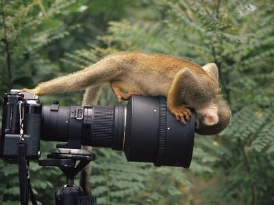 Squirrel Monkey, Investigates Camera, Amazonia, Ecuador-Pete Oxford-Photographic Print
