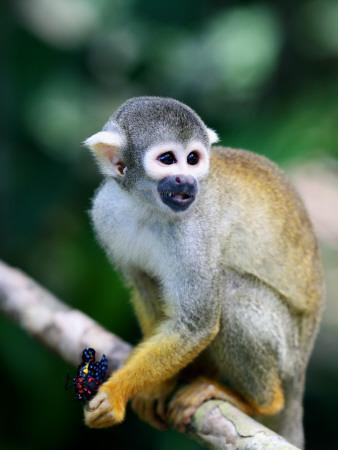 https://imgc.artprintimages.com/img/print/squirrel-monkey-saimiri-sciureus-about-to-eat-a-colourful-butterfly-at-an-animal-rescue-centre_u-l-pd5ozj0.jpg?p=0