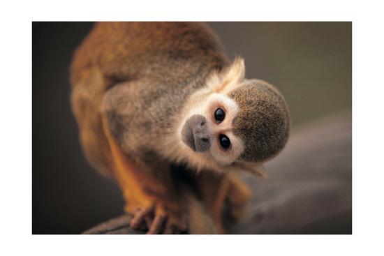 Squirrel Monkey-Lantern Press-Art Print
