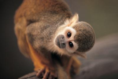 https://imgc.artprintimages.com/img/print/squirrel-monkey_u-l-q1gqben0.jpg?p=0