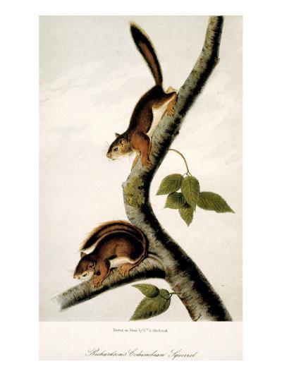 Squirrel--Giclee Print