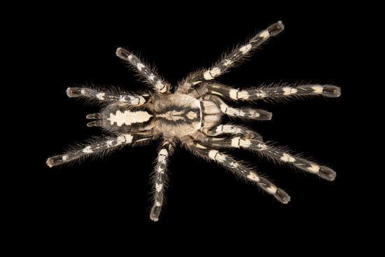Sri Lanka ornamental spider, Poecilotheria fasciata, at the Budapest Zoo   Photographic Print by Joel Sartore   Art com