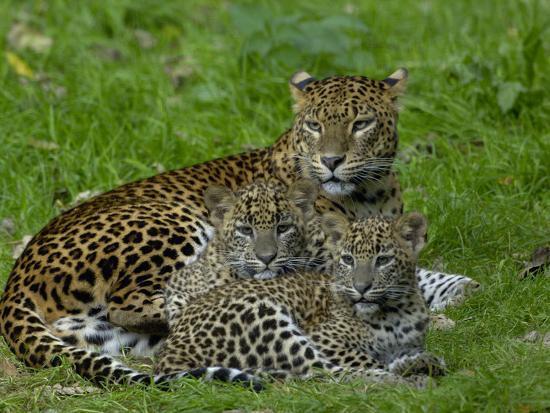Sri Lankan Leopard (Panthera Pardus Kotiya) Mother with Cubs, Captive-Dave Watts-Photographic Print