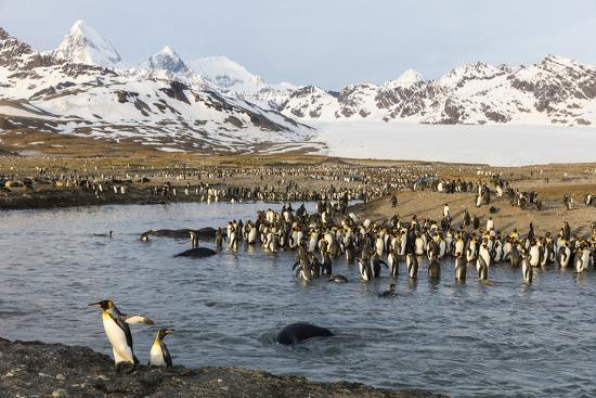 St. Andrew's Bay, South Georgia Island. King Penguins Cross a Stream-Jaynes Gallery-Photographic Print