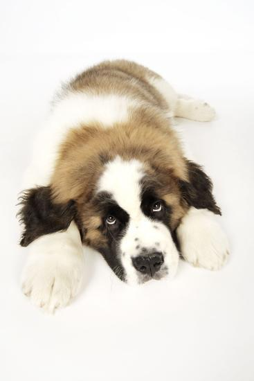 St Bernard Dog 14 Week Old Puppy--Photographic Print
