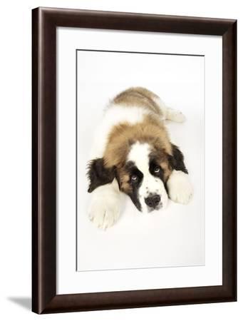 St Bernard Dog 14 Week Old Puppy--Framed Photographic Print