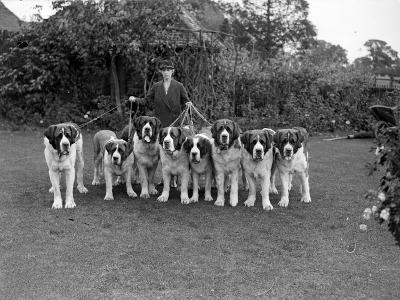 St Bernard Dogs--Photographic Print
