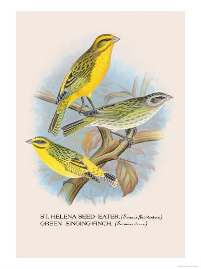 St. Helena Seed-Eater, Green Singing-Finch-Arthur G^ Butler-Art Print