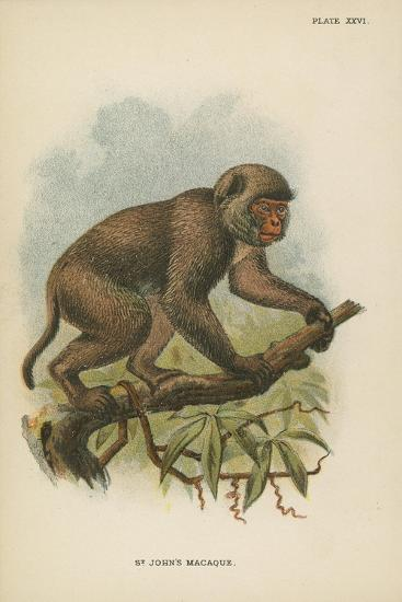 St. John's Macaque--Giclee Print