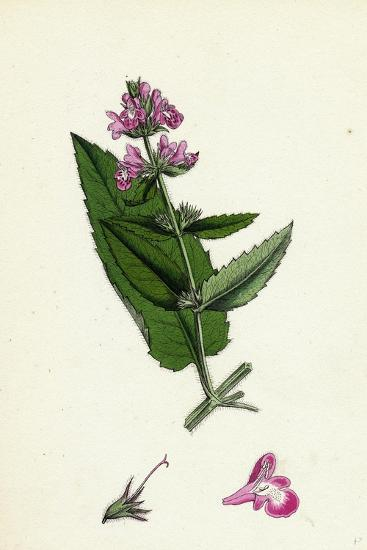 Stachys Sylvatici-Palustris Hybrid Between Hedge and Marsh Woundworts--Giclee Print