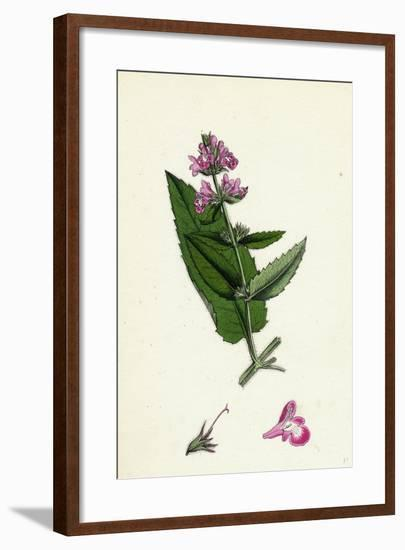 Stachys Sylvatici-Palustris Hybrid Between Hedge and Marsh Woundworts--Framed Giclee Print