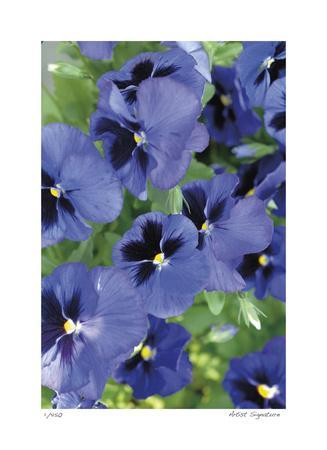 Electric Pansy