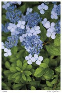 Hydrangea Variation by Stacy Bass
