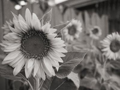 A Black and White Photograph of a Sunflower