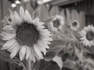 A Black and White Photograph of a Sunflower by Stacy Gold