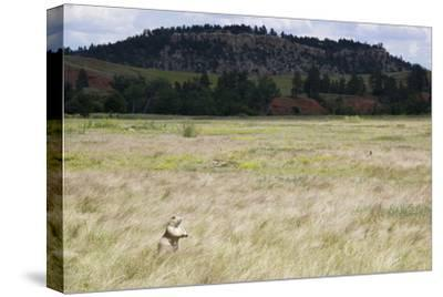 A Prairie Dog Stands Up in a Landscape of Prairie Grass