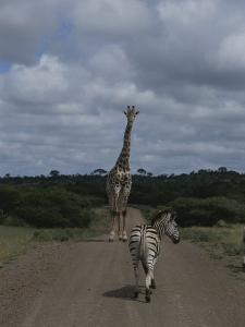 A Zebra and Giraffe Walk Down a Dirt Road in the Park by Stacy Gold