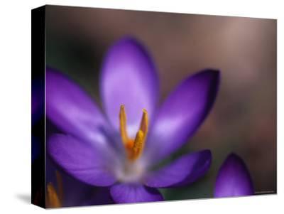 Close View of a Purple African Violet, Washington, D.C.
