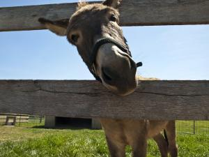 Curious Donkey Sticks His Head Through a Fence by Stacy Gold