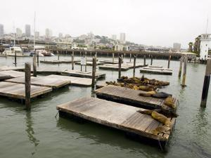 Famous Pier 39 Docks That are Usually Crowded with Sea Lions by Stacy Gold