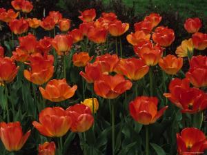 Tulips Bloom by Stacy Gold