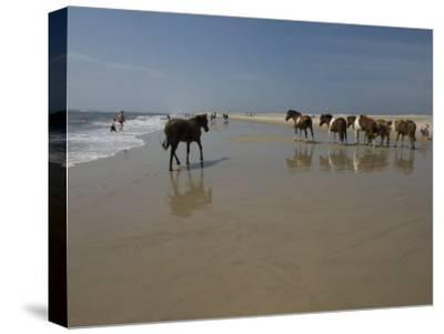 Wild Horses on the Beach Walk Past Tourists in Assateague, Maryland