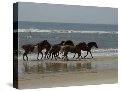 Wild Horses Run on the Beach in Assateague, Maryland