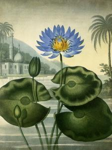 Blue Egyptian Waterlily by Stadler