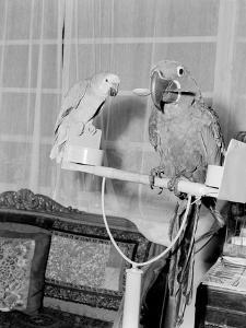 100 Year Old Parrot 1952 by Staff