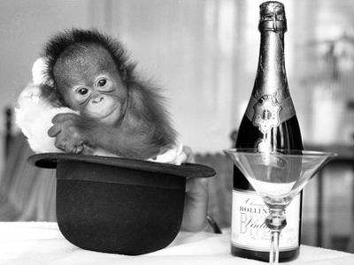 A baby Orangutan at Twycross Zoo by Staff